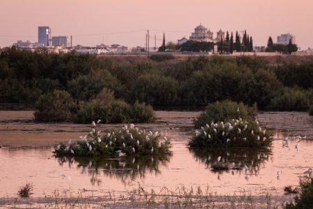 Catte Egret - Oroklini Marsh - Ben Porter2