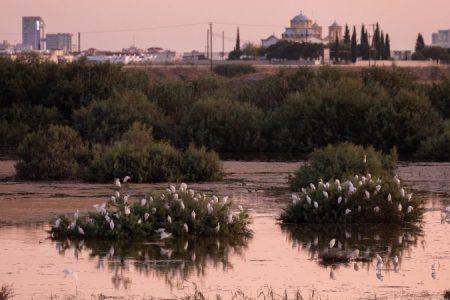 Catte Egret - Oroklini Marsh - Ben Porter2_450_850_crp