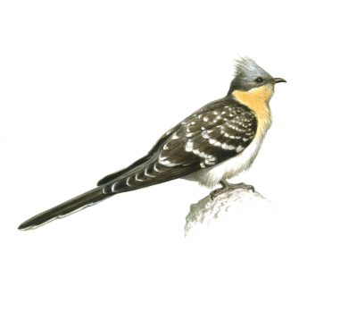 GREAT-SPOTTED CUCKOO