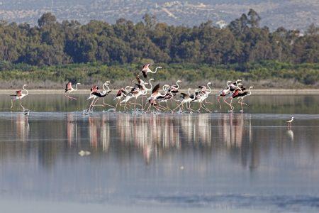 Greater Flamingo © A. Stoecker