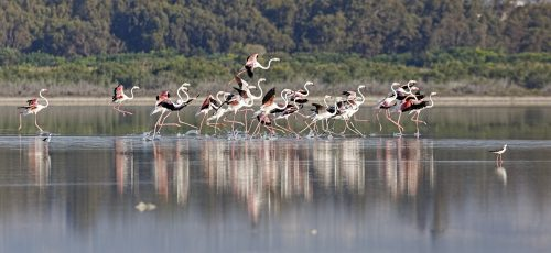 Greater Flamingo © A. Stoecker