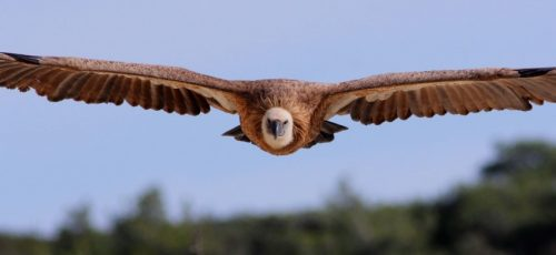 Griffon Vulture - Raija Howard_450_850_crp