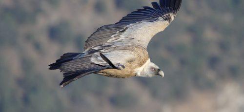 Griffon-Vulture-by-Guy-Shorrock-webste