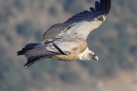 Griffon Vulture by Guy Shorrock webste_450_850_crp