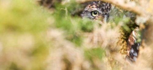 Little-Owl-Ben-Porter