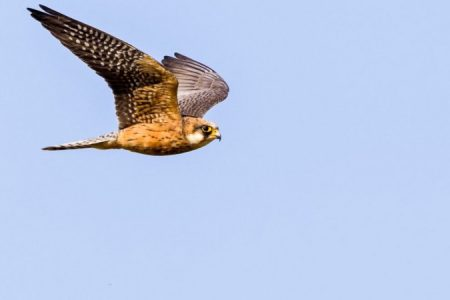 Red-footed Falcon by Albert Stoecker_450_850_crp