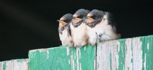 Swallow-chicks-Ben-Porter