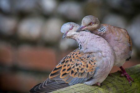 Turtle-Dove-Andy-Morffew