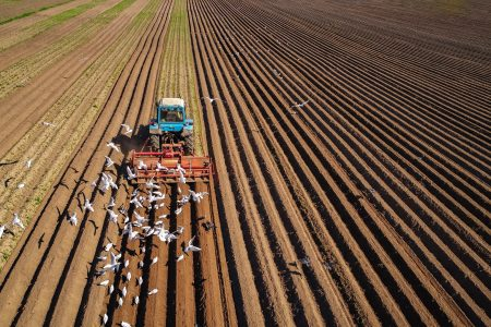 Agricultural work on a tractor farmer sows grain. Hungry birds are flying behind the tractor, and eat grain from the arable land.