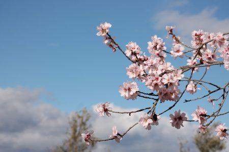 almond tree, flowering, flowers