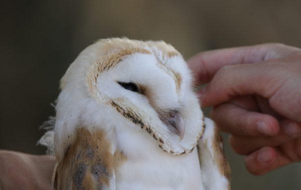 Barn Owl © Antaia Christou