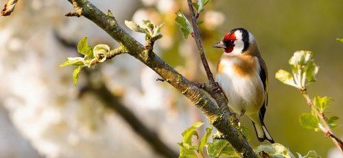 bird, goldfinch, garden