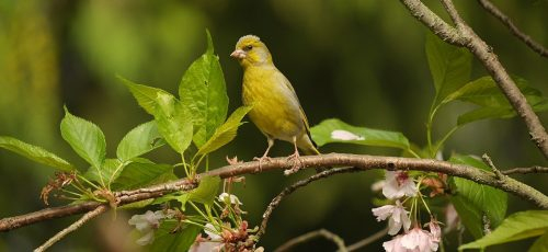 greenfinch, fink, bird