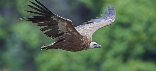 Griffon vulture in flight with vegetation in the background