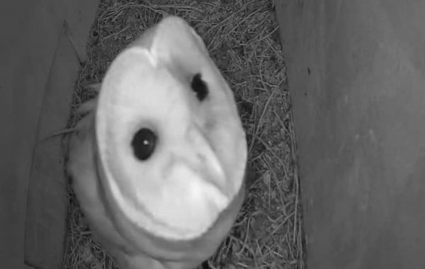 Barn Owl looking at the nest box camera