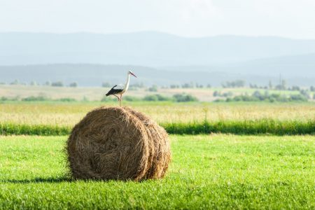 Stork on dry hay bale on green meadow. Animal bird photography