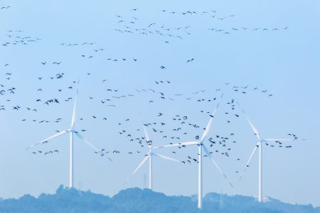 wind farm and migratory birds , ecology beauty in poyang lake natural reserve